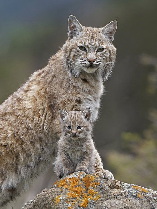 Bobcat Mother And Kitten North America Art Print by Tim