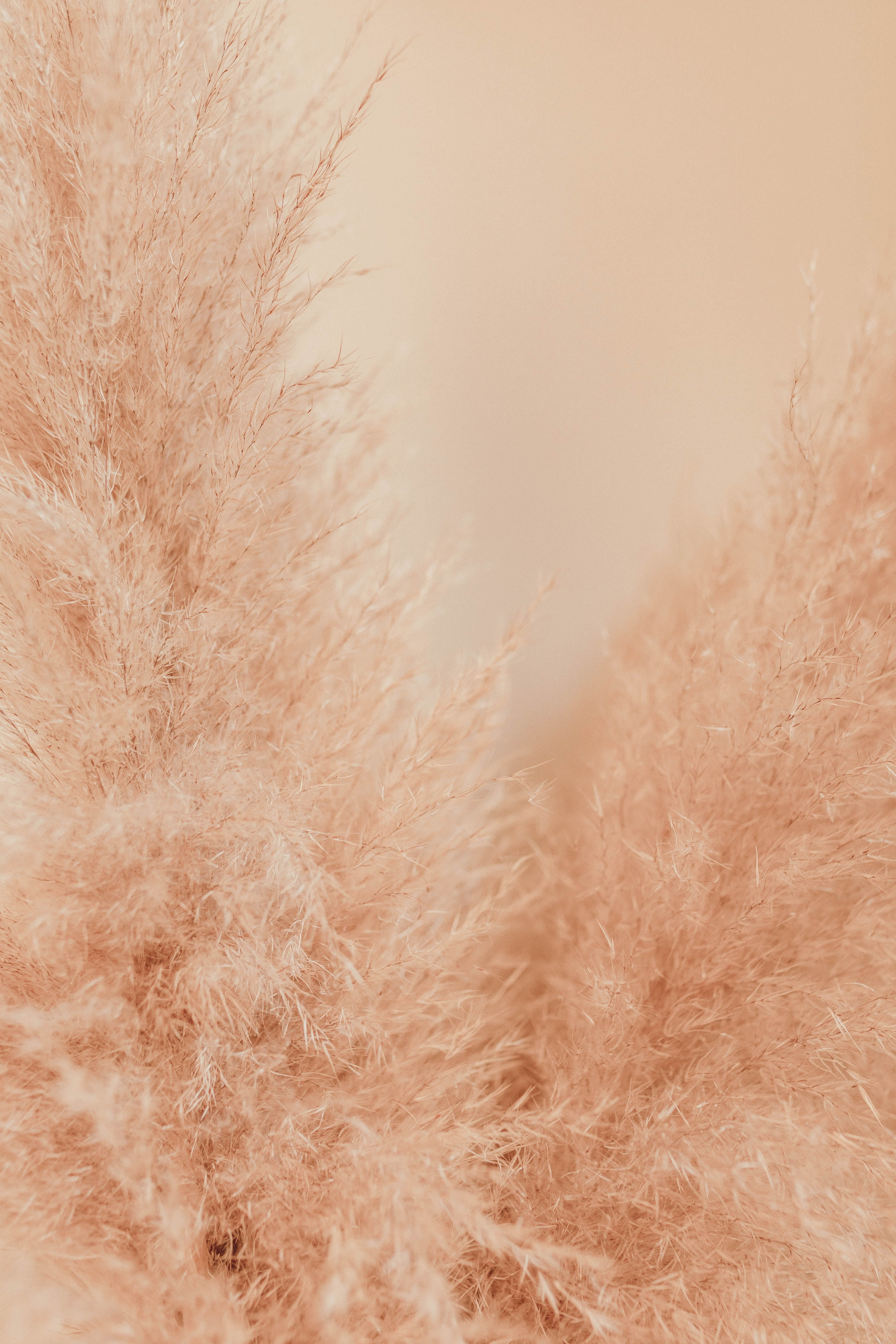 Pampas Grass Pictures Download Free Images On Unsplash In 2020 Iphone Wallpaper For Desktop Grass Wallpaper Free Background Images