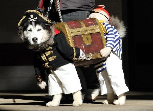 A dog dressed as two pirates carrying a treasure chest. Awesome!