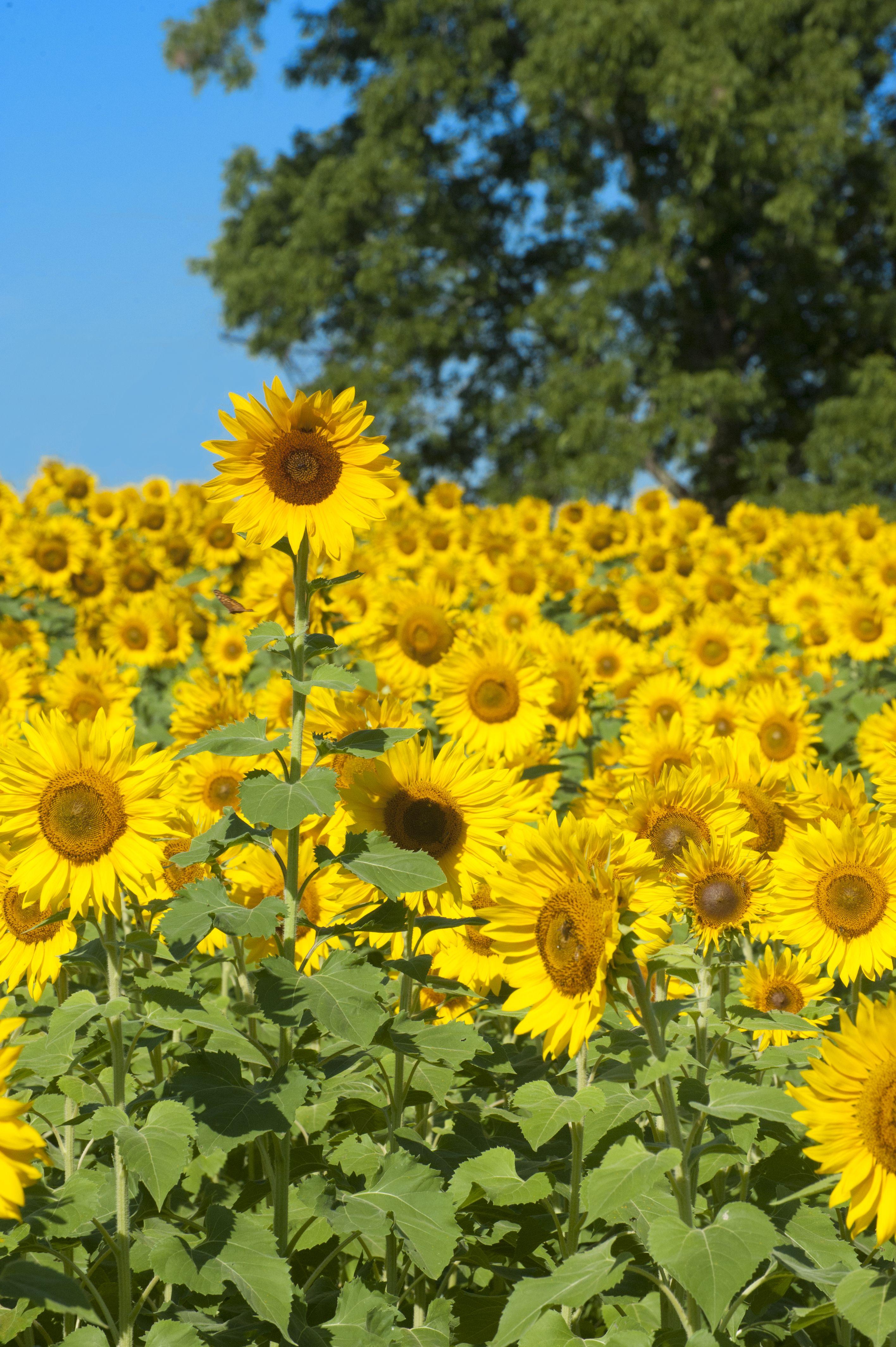 Sunflower field near Raleigh #sunflowers #flowers #nature ...