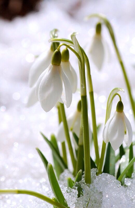 Snowdrops In The Snow Spring Flowers Beautiful Flowers Language Of Flowers