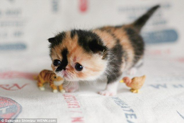 cutest kitten in the world Cute Kittens Pinterest