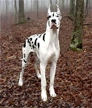 Great Dane Harlequin Great Danes Dane Dog Spotted Animals