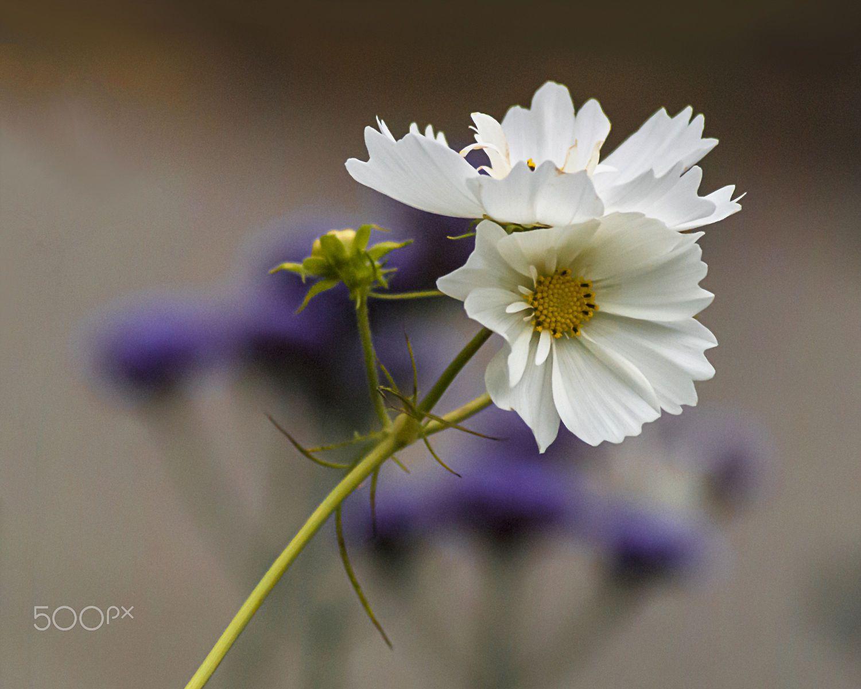 White wild flower by Ibolya Szebeni on 500px