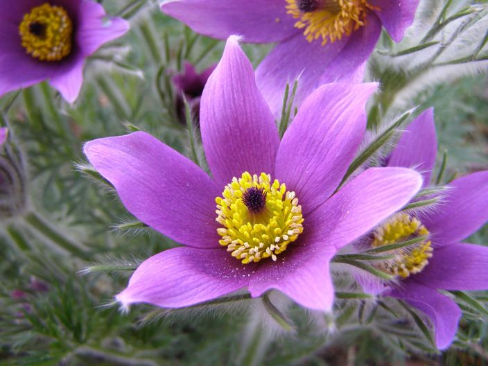 Pulsatilla ~ Pasque Flower | Blooms | Flower seeds ...