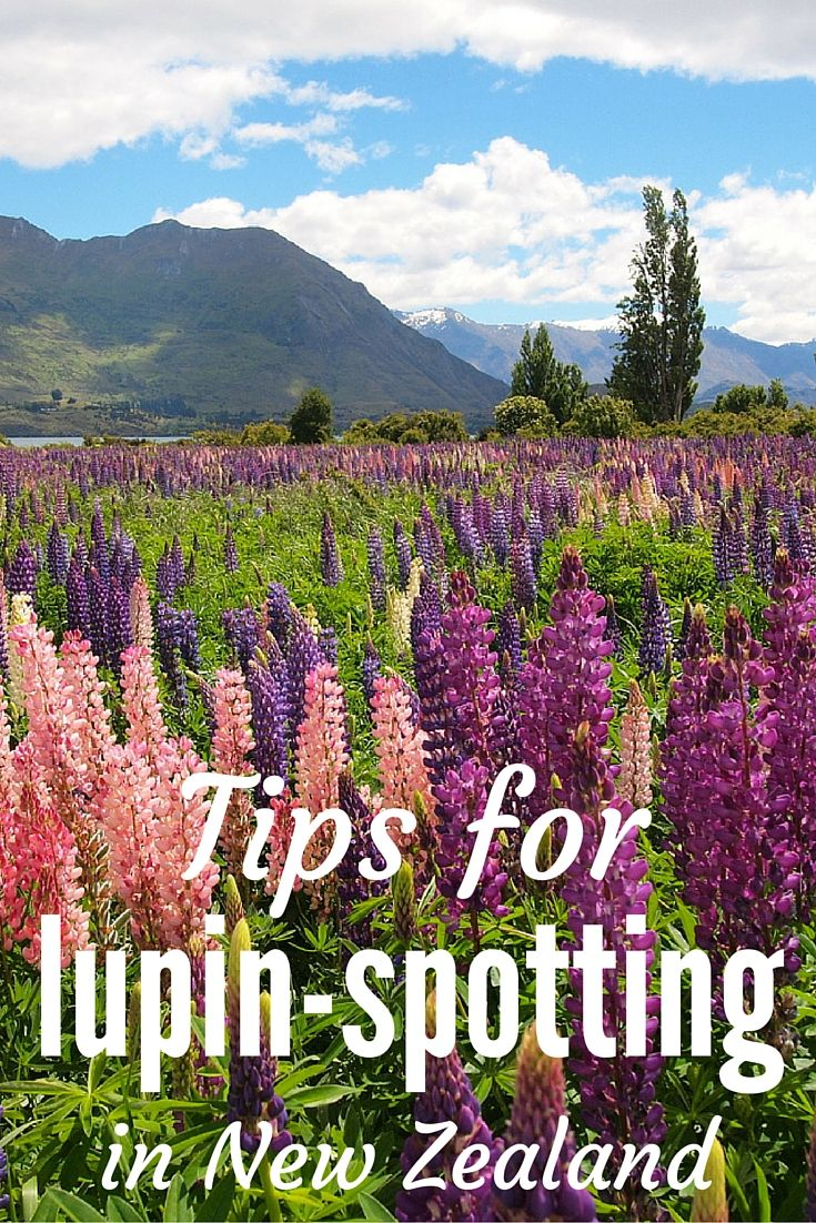 Tips on How and Where to Find Lupins in New Zealand Best