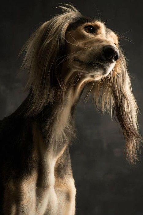 Saluki Dog Portrait By Paul Croes Saluki Dogs Dog Breeds