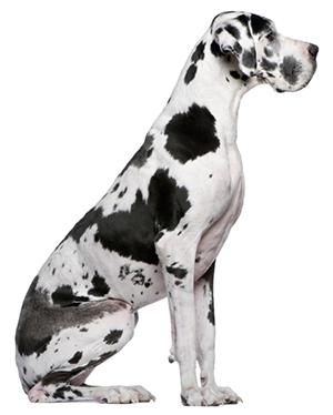 Great Dane Great Dane Breed Great Dane Dogs Dane Dog