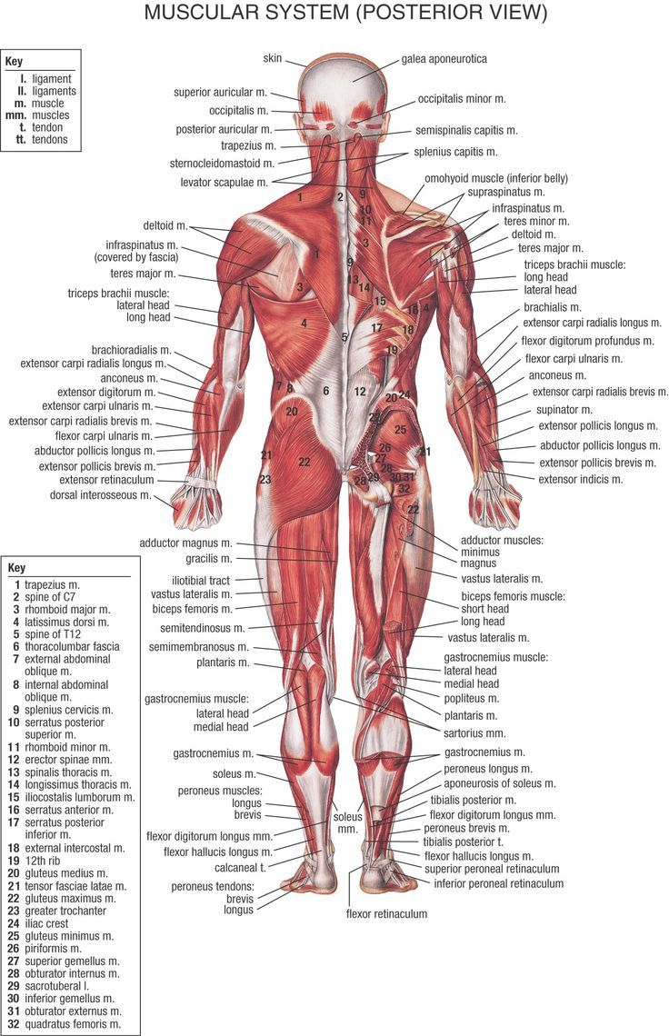 HB Muscular System Posterior.jpg 1,492×2,312 pixels | A&P ...