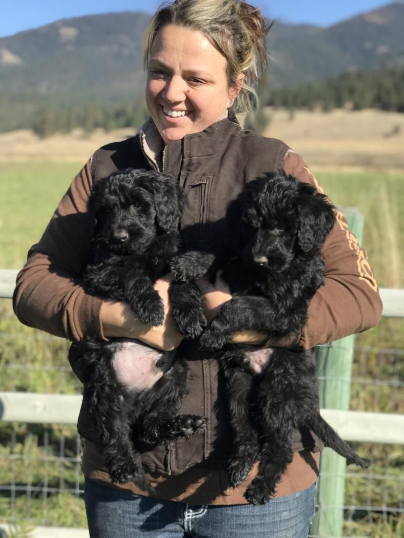 French valley ranch giant schnoodles and mini schnauzers
