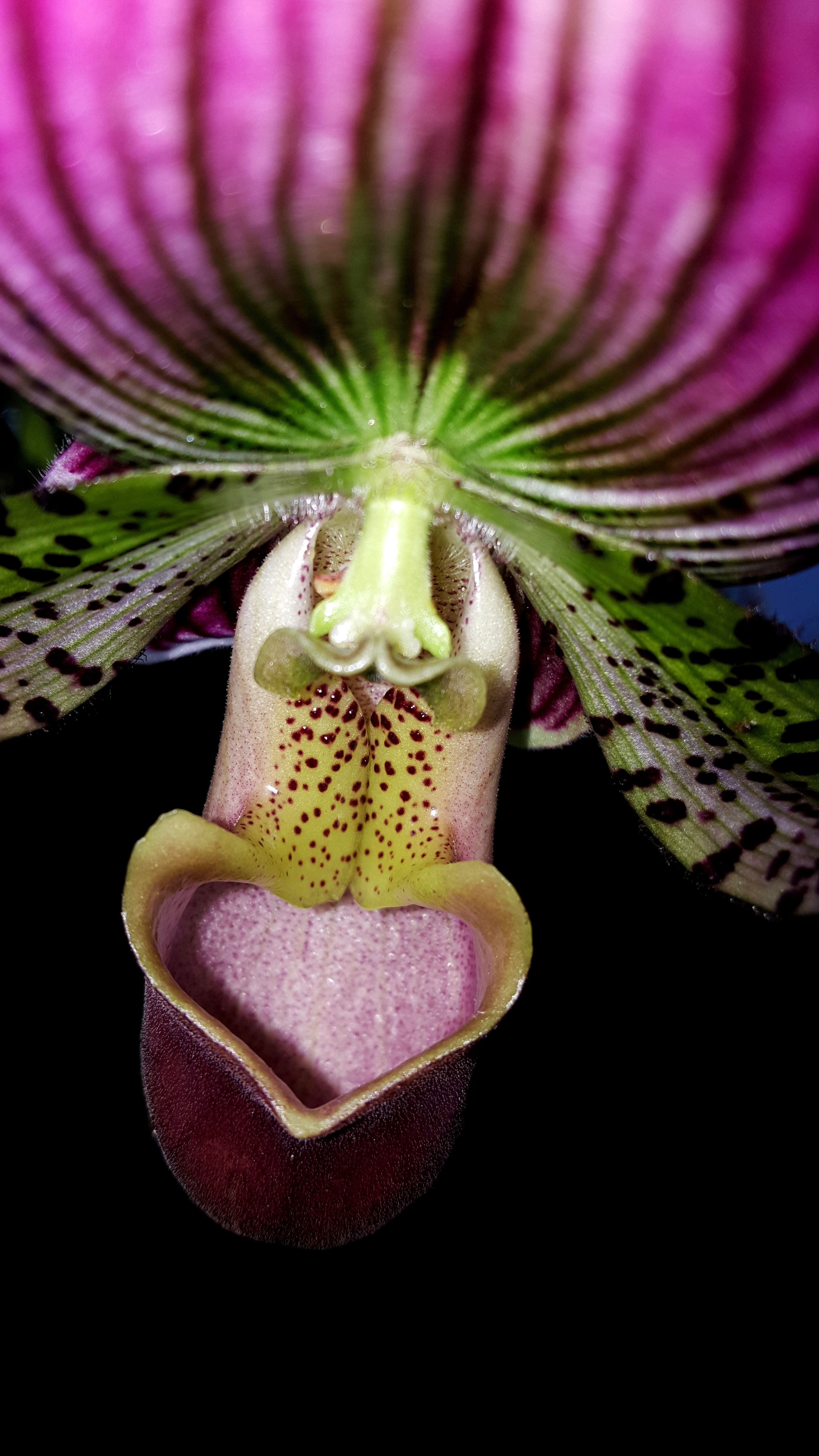 This Beauty Is A Paphilpedilum Lady Slipper Created By Crossing An