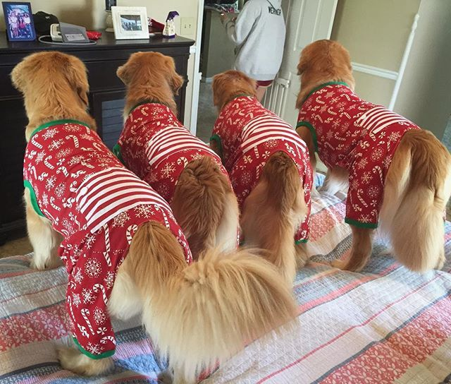 Golden Fluff Butts Are The Cutest Christmas Dog Retriever