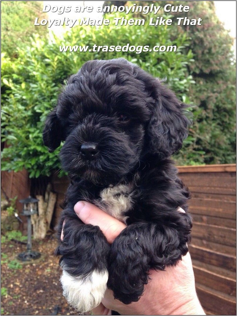 Dog Ownership Ideas Cockapoo Puppies Puppies Cavapoo Puppies
