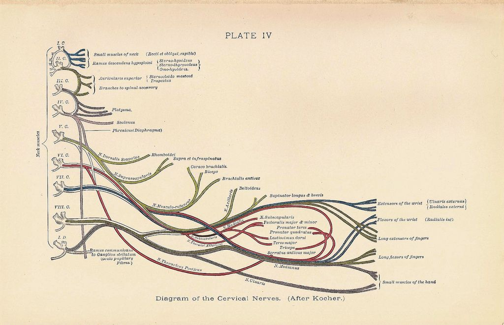 Diagram of the CERVICAL Nerves Full Color Neck Muscle Anatomy 1927 ...