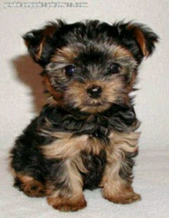 This is a baby Chorkie (Chihuahua yorkie mix).
