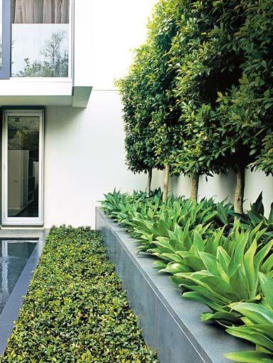 ficus hillii pleached hedge g planting pinterest. Black Bedroom Furniture Sets. Home Design Ideas