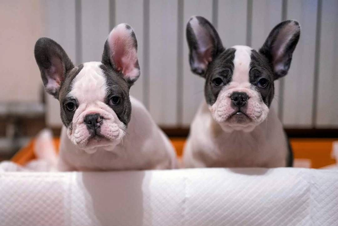 Credit Frenchie World The One Of A Kind French Bulldog With
