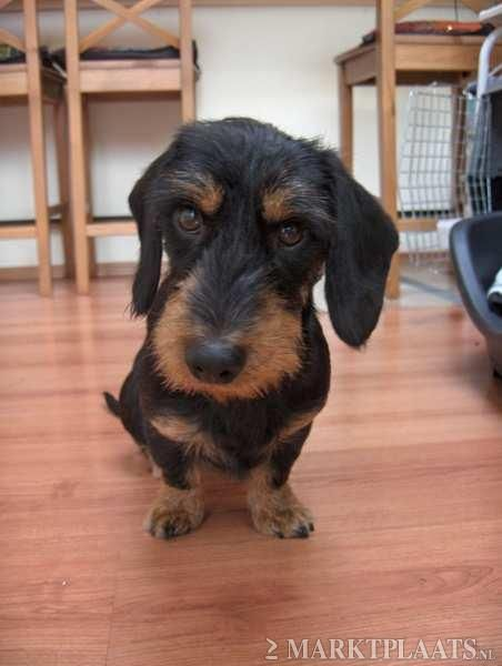 Black and tan wirehaired | Wire haired dachshund ...