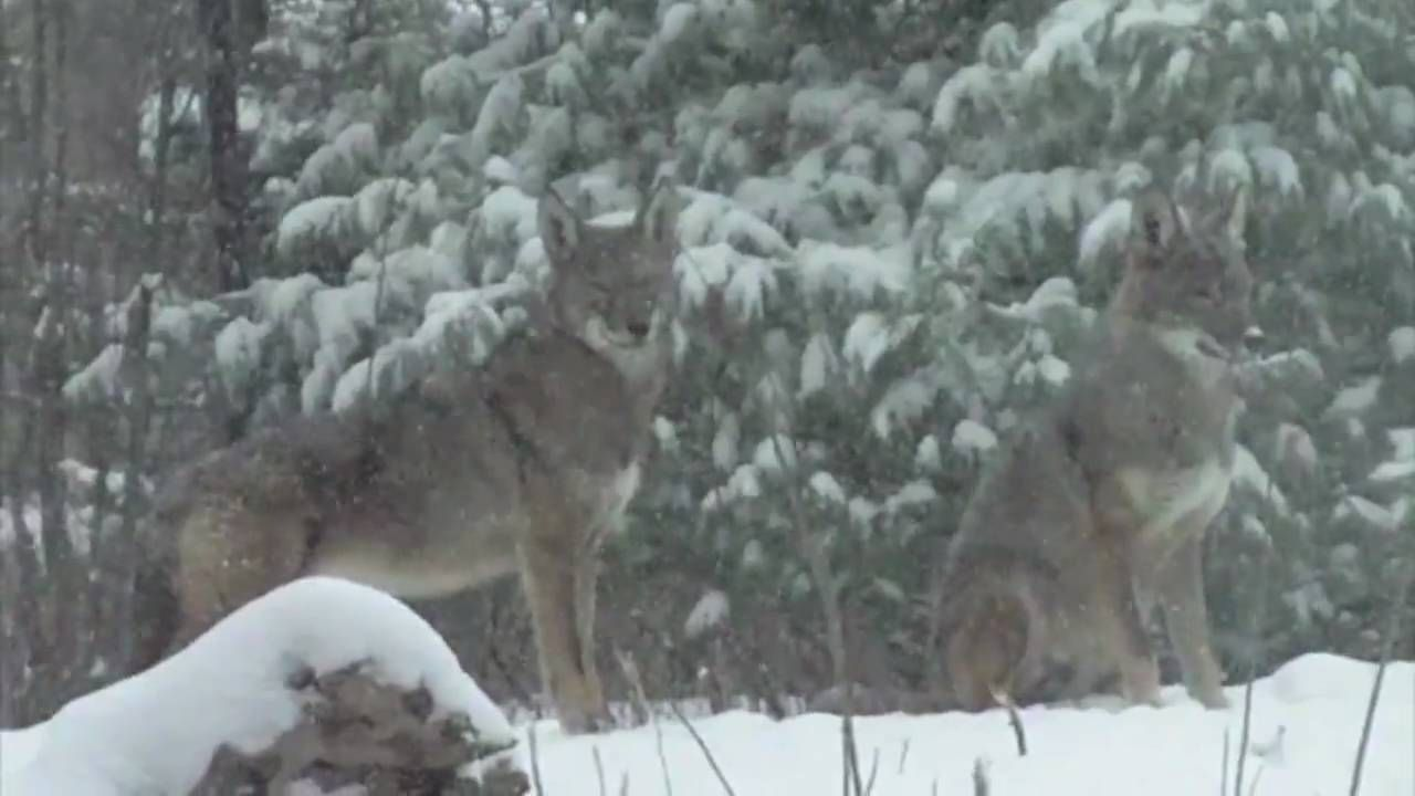 Watch full screen! 2010 video of wolves in winter at the