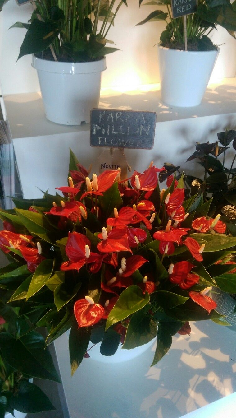 Anthurium Karma Million Flowers Red Unique And New Variety On The Market Plantas