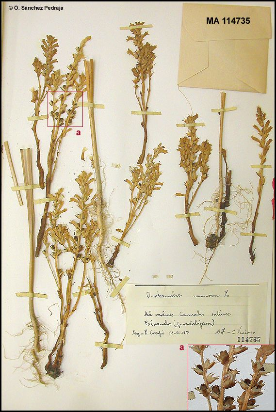 http://www.farmalierganes.com/flora/angiospermae/orobanchaceae/phelipanche/Phelipanche_ramosa/Phelipanche_ramosa.htm