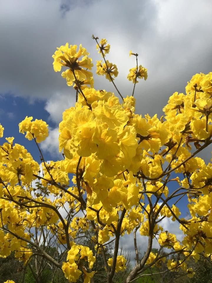 Tabebuia tree in springtime in florida florida plants and trees tabebuia tree in springtime in florida mightylinksfo