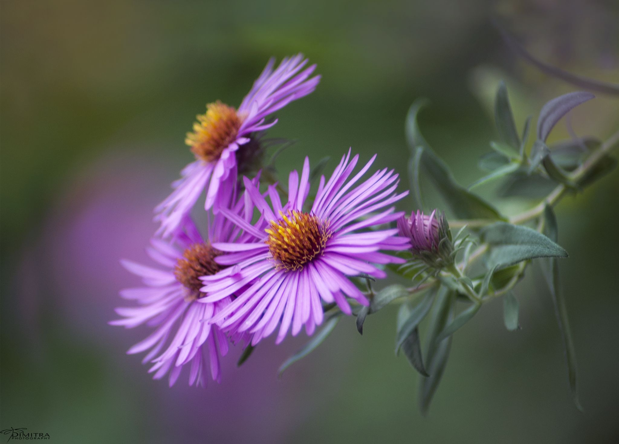 35PHOTO - Dimitra Lefterova - Purple dream