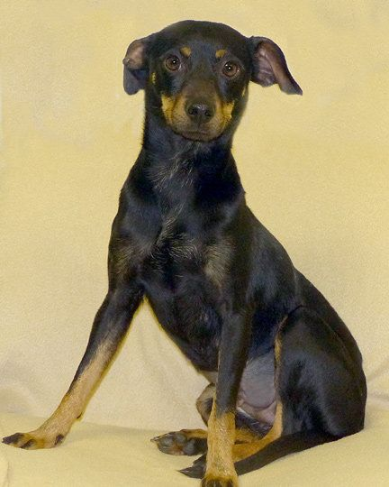Shurley  Breed: Miniature Pinscher Gender: Female - 17 lbs. Estimated DOB: 2-18-12 Shurley loves to go for walks and enjoys sniffing a little along the way. She is pretty easy to walk. She is a little shy at first when meeting new people, but it doesn't take her long to warm up and start wagging her tail. She would enjoy a special someone that will give her lots of attention and petting.
