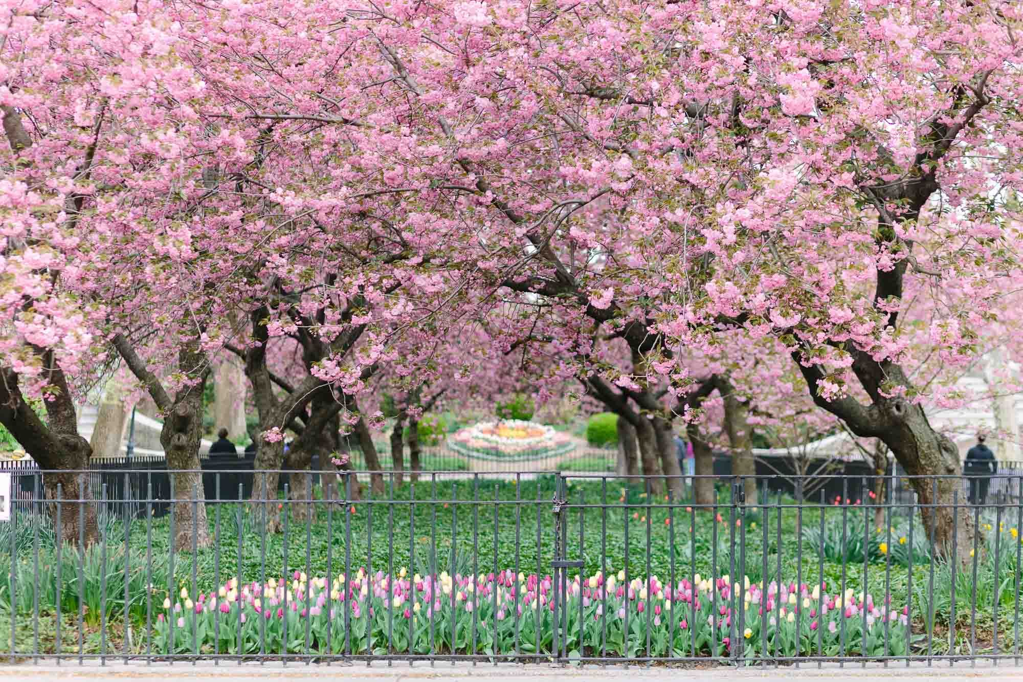 Cherry Blossoms Upper East Side Nyc Guide York Avenue Spring In New York Spring Blossom Nyc Guide