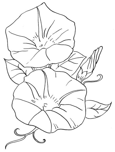 Flowers 37 Morning Glory Flower Drawing Morning Glory Flowers Coloring Pages