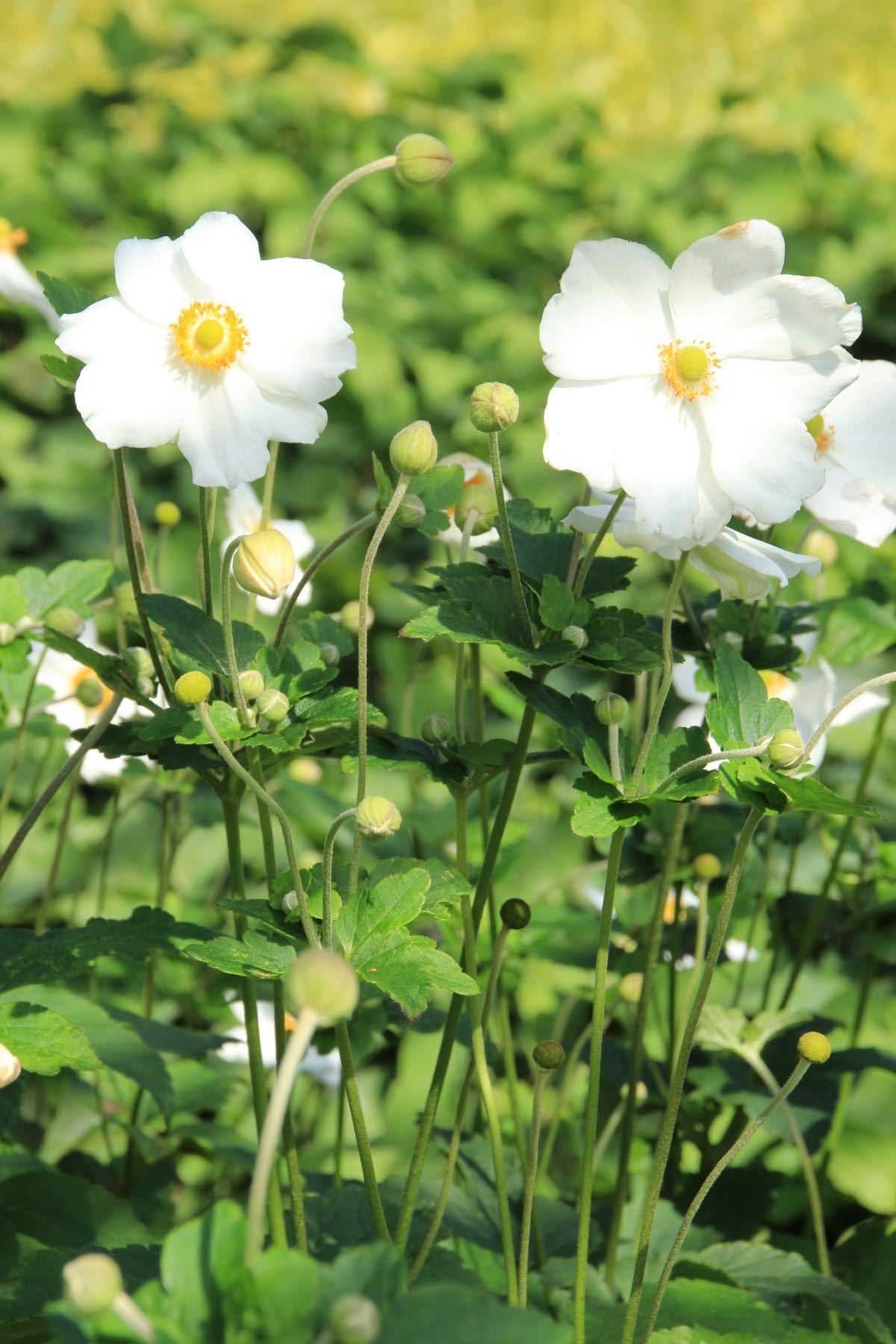Garten Herbst Anemone Honorine Jobert Anemone Japonica Honorine Jobert Stauden Japanische Anemone Anemone