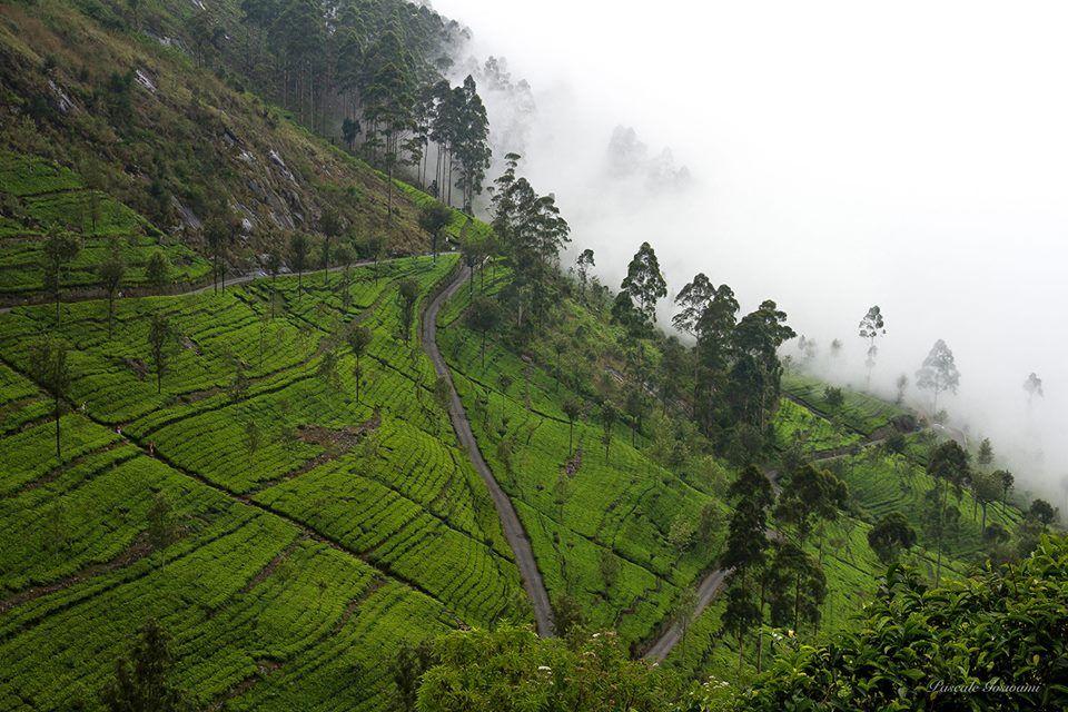 Sri Lanka, Hatupalle Les magnifiques plantations de thé de Hatupalle sont à 20 km de Ella.