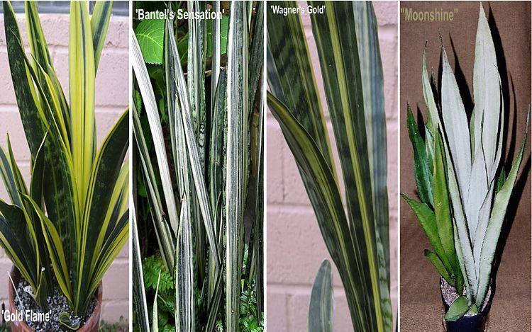 Posts About Wezownica On Kwiaty Doniczkowe Sansevieria Trifasciata Sansevieria Succulent Landscape Design