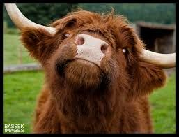 highland cattle - Google Search