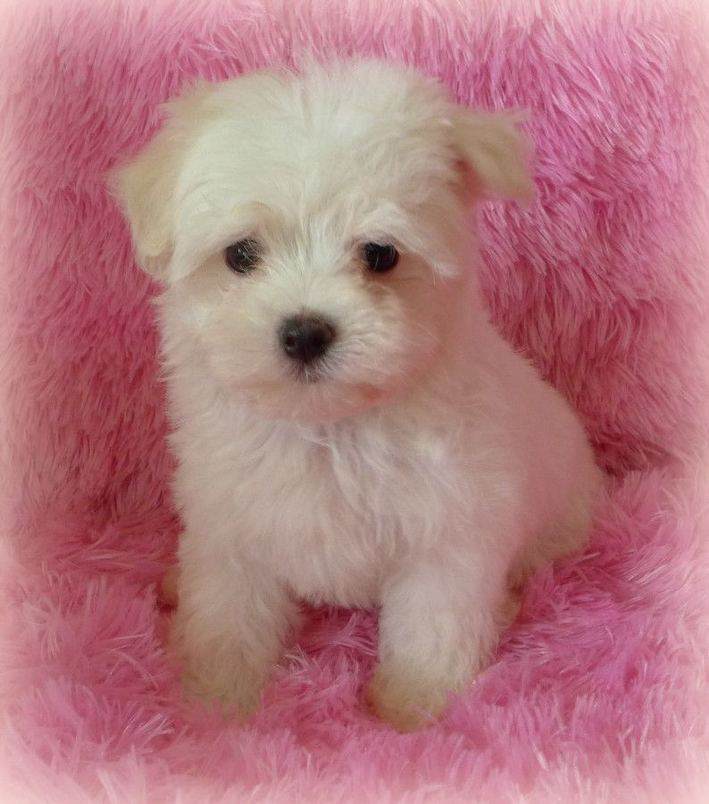 Puppies For Sale Maltipoo Maltipoos F Category In Chagrin