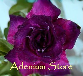 Adenium Obesum Triple Dark Purple 5 Seeds Desert RoseTropical FlowersDark