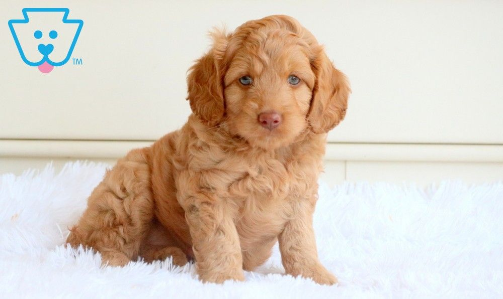 Blossom goldendoodle miniature puppy for sale