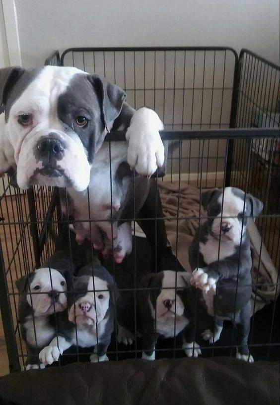 I Love Bulldog English Bulldog Puppies Newborn Puppies American Bulldog Puppies