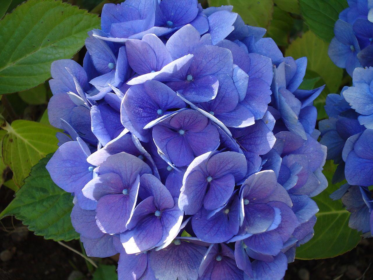 A Lovely Hydrangea From My Blog Post On Flowers In Spanish America Hydrangea Purple Flower Guide Flowers