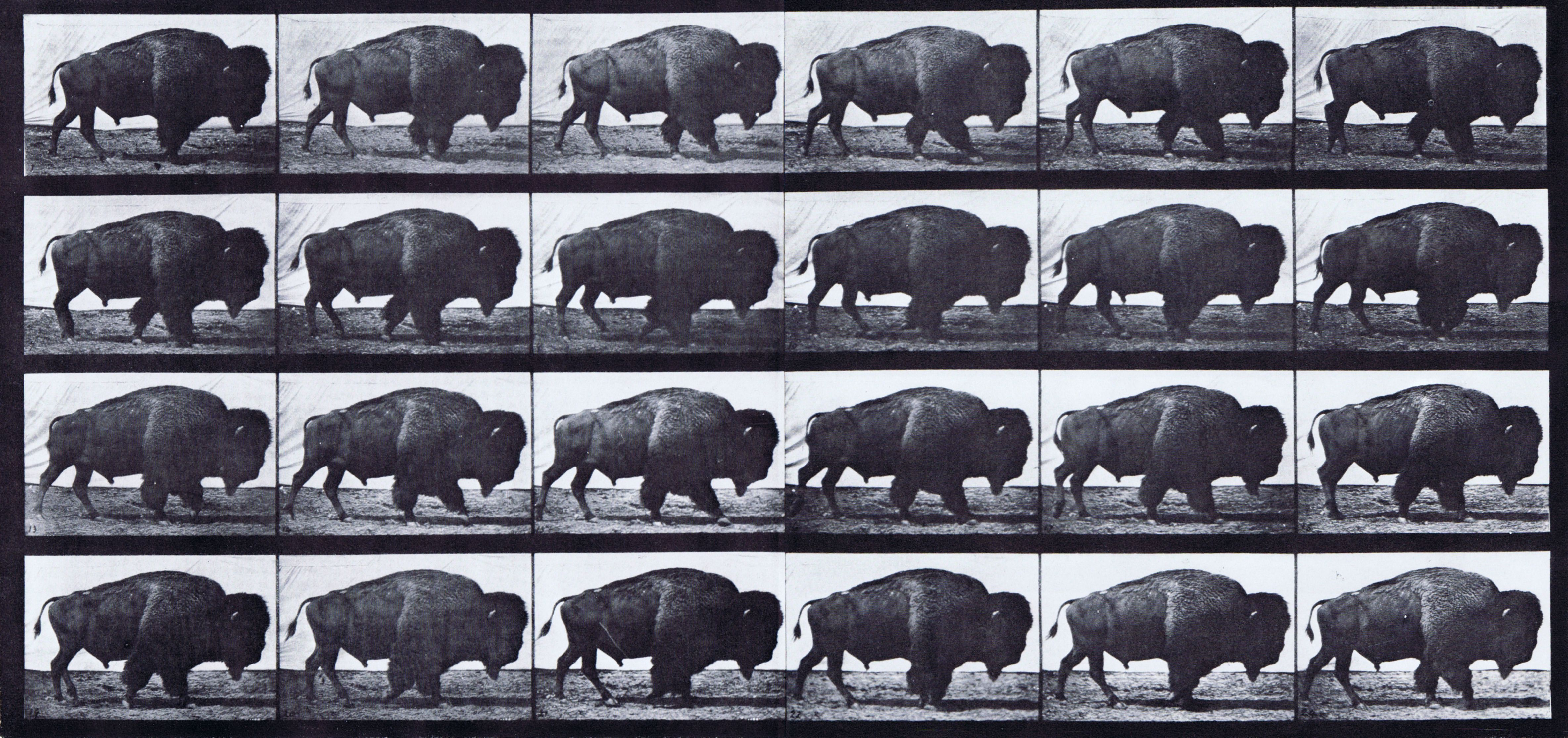 large profile view of buffalo walking animation reference using ...