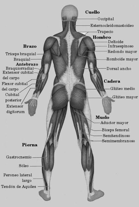 musculo lateral de la espalda