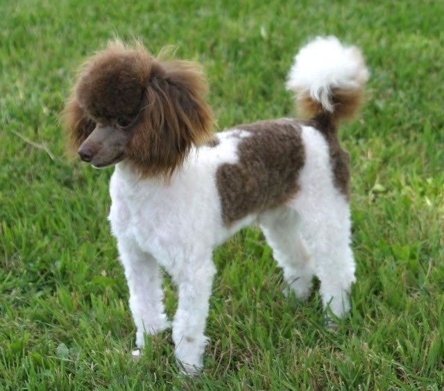 Mini Parti Poodle About The Poodle Aussiedoodle And