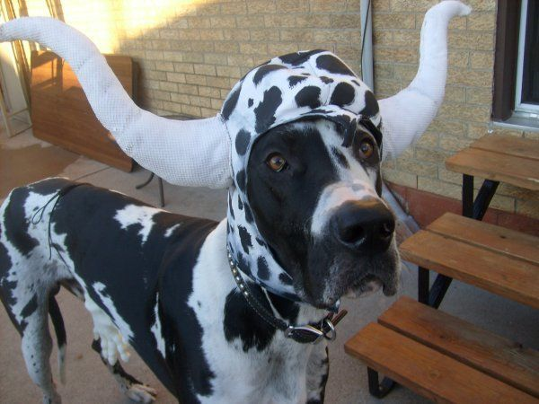 A Cute Harlequin Great Dane Dressed As A Cute Cow Aweee Great