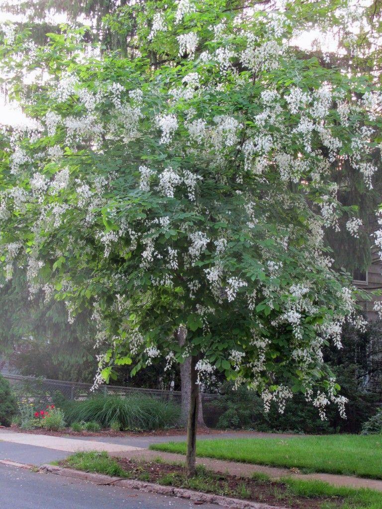 Fragrant White panicles of flowers make Kentucky Yellow Wood ...