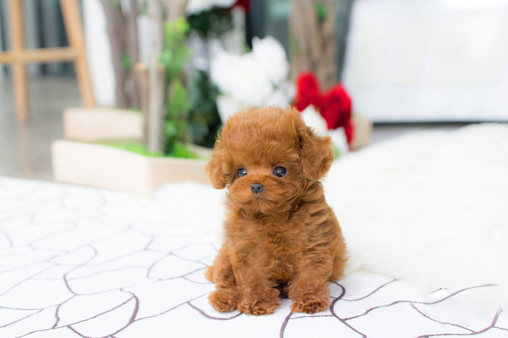 Bridget red poodle in 2020