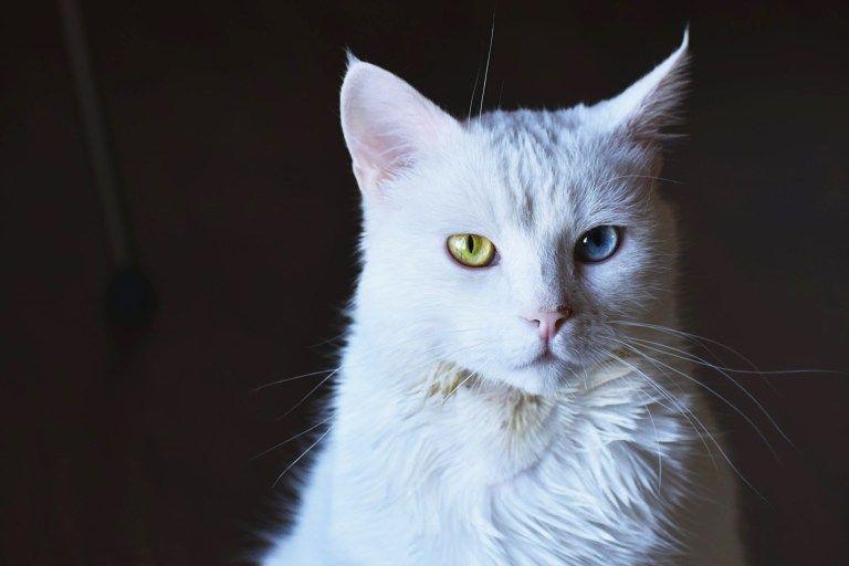 Odd Eyed Cats In 2020 Animal Photo Cat Photo Cute Kitten Gif