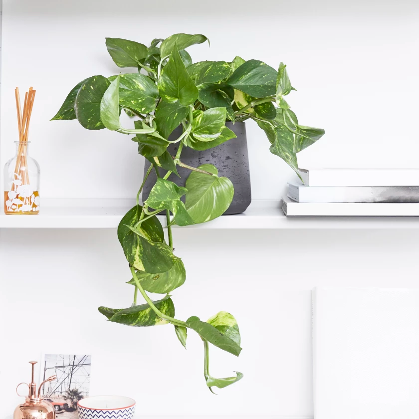 Devils Ivy Golden Pothos Indoor Plants In London Plant Decor Indoor Ivy Plant Indoor Best Indoor Plants