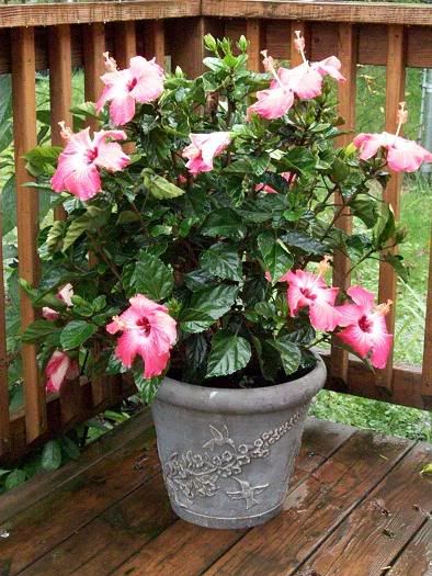 Growing Hibiscus In Containers Gardening Growing Hibiscus