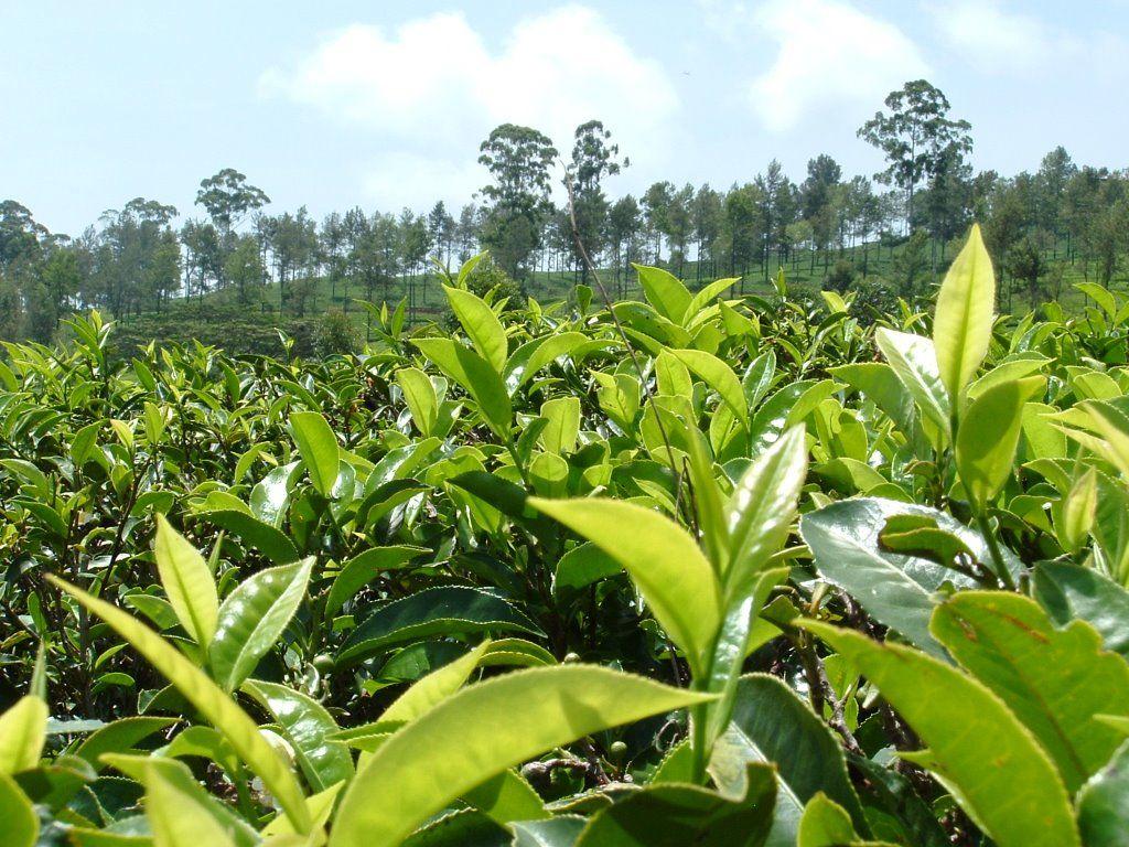 Would You Like A Cup of Sri Lankan Tea?