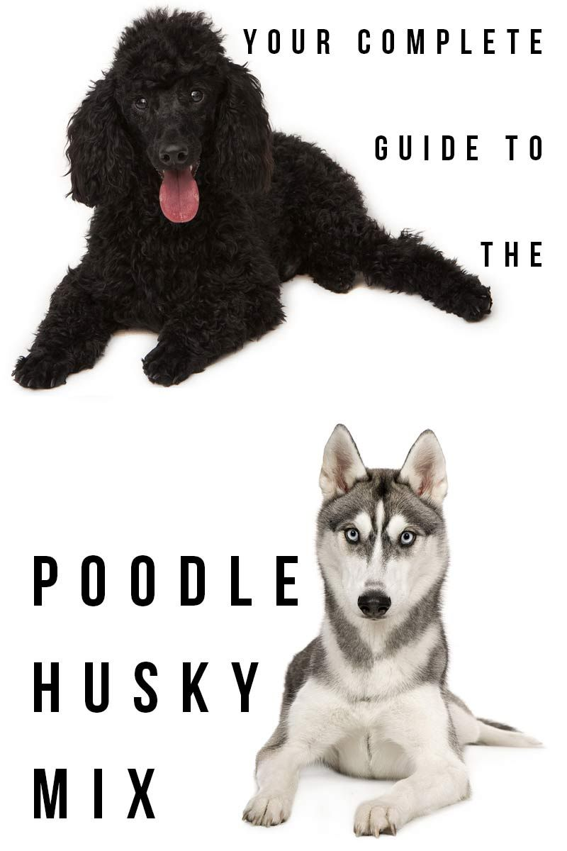 Husky Poodle Mix Breed Information A Guide To The Huskydoodle